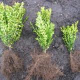 Buxus planta decor-gard viu