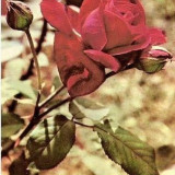 Carti Postale Romania dupa 1918 - CP208-18 Trandafir -marca fixa -carte postala scrisa, dar necirculata -starea care se vede