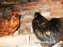 pui gaini de rasa, cochinchina pitic,  PLYMOUTH ROCK , MOTATA OLANDEZA ,ITALIANA POTARNICHIE (LEGHORN) foto