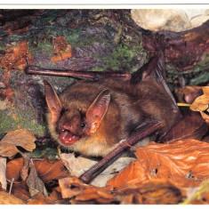 Carte postala tematica - Carte postala ilustrata FAUNA - Animale salbatice - insectivoare - liliac (myotis bechsteinii)
