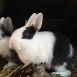 Pui iepuri pitici