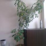 Planta Schefflera de apartament
