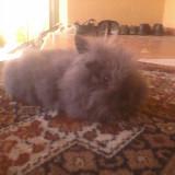 Vand pui de iepuri cap de leu