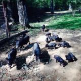 Purcelusi vietnamezi - Rase porci