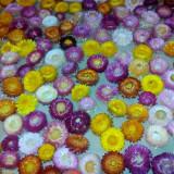 Flori nemuritoare(flori de pai, imortele)