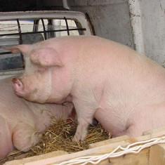 Rase porci - Porc de vanzare in jur de 200 kg