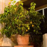 Arbusti fructiferi - Pom exotic lamai 30 ani