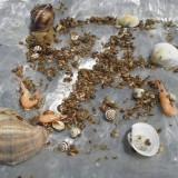 Gammarus hrană pentru broaşte ţestoase - 1kg - Testoasa