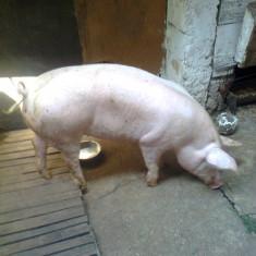 Vand porc de carne