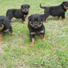 Caine, Rottweiler, Femela - Pui rottweiler