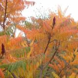 Plante ornamentale - OTETAR ( Rhus typhina ) - 75 - 120 cm ( cititi descrierea, va rog ! ) *