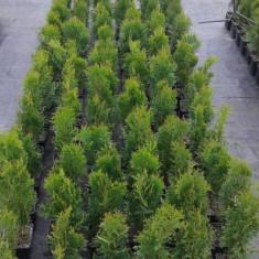 Tuia ( Thuja occidentalis)