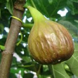 SMOCHIN - Ficus carica - 24 lei