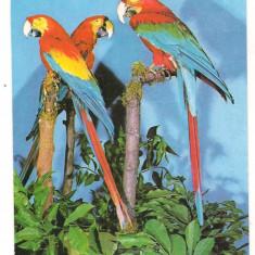 Carte postala tematica, Necirculata, Printata - % carte postala (ilustrata)-PAPAGAL ARA-Fauna