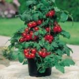 """Seminte rosii de ghiveci """"Gartenperle"""""""