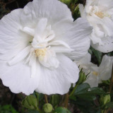 Trandafiri - Hibiscus syr. 'White Chiffon' – trandafir chinezesc, zamosita