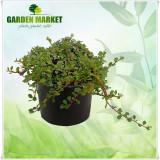 """Plante ornamentale - Cotoneaster dammeri """"Queen of Carpets"""""""