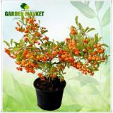 "Plante ornamentale - Pyracantha hybride ""Orange Charmer"""