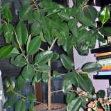 Ficus, 10 ani
