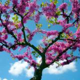 Seminte de Arborele lui Juda - Cercis siliquastrum - 2 seminte pentru semanat