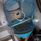 colivie papagali