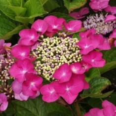 Hydrangea macrophylla Fasan – Hortensie Fasan