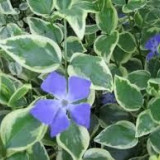 Vinca major variegata - saschiu