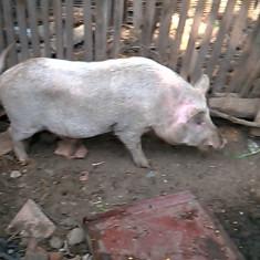 Vier matur - Rase porci