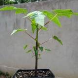 Papaya - Carica papaya - ghiveci 12cm/1L - Pomi fructiferi