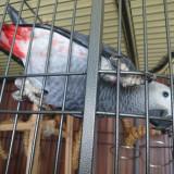 Vând papagal Jako (papagal african gri) + colivie