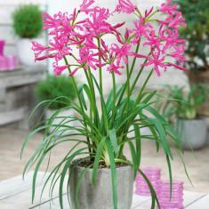 Flori - Nerine bowdenii Roz / bulbi cu 6 Ron bucata