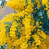 Seminte rare de Acacia baileyana - 2 seminte pt semanat
