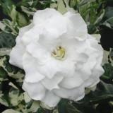 Seminte de Gardenia Jasminoides parfumata - 4 seminte pt semanat