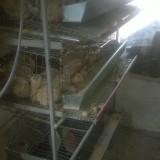 Prepelita - Vand Prepelite