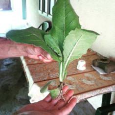 Tutun kent rasad fire - voios si nerabdator de dezvoltare (0, 15 RON/fir)