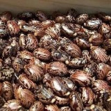 Vand pliculet a 100 seminte ricin rosu