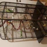 Papagal Micul Alexandru + Colivie + Accesorii si Mancare